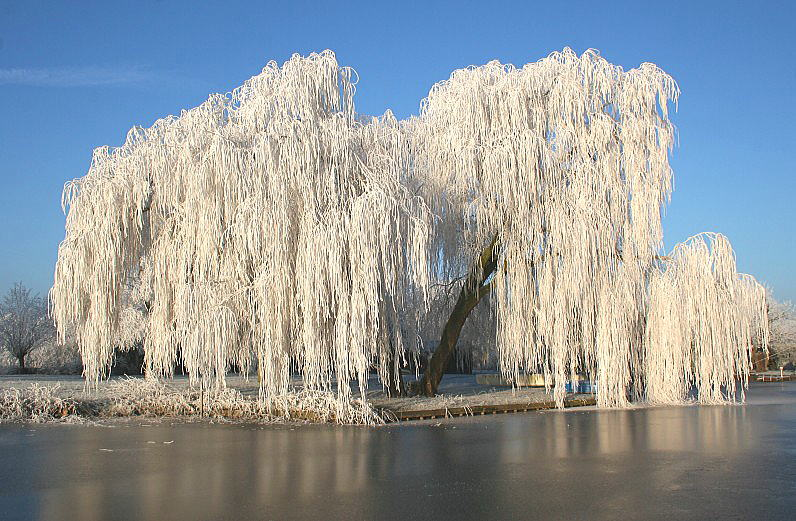 Ice-covered willow trees at lake of Reeuwijk